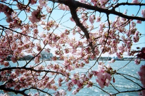 spring_cherry_blossoms_1349332429